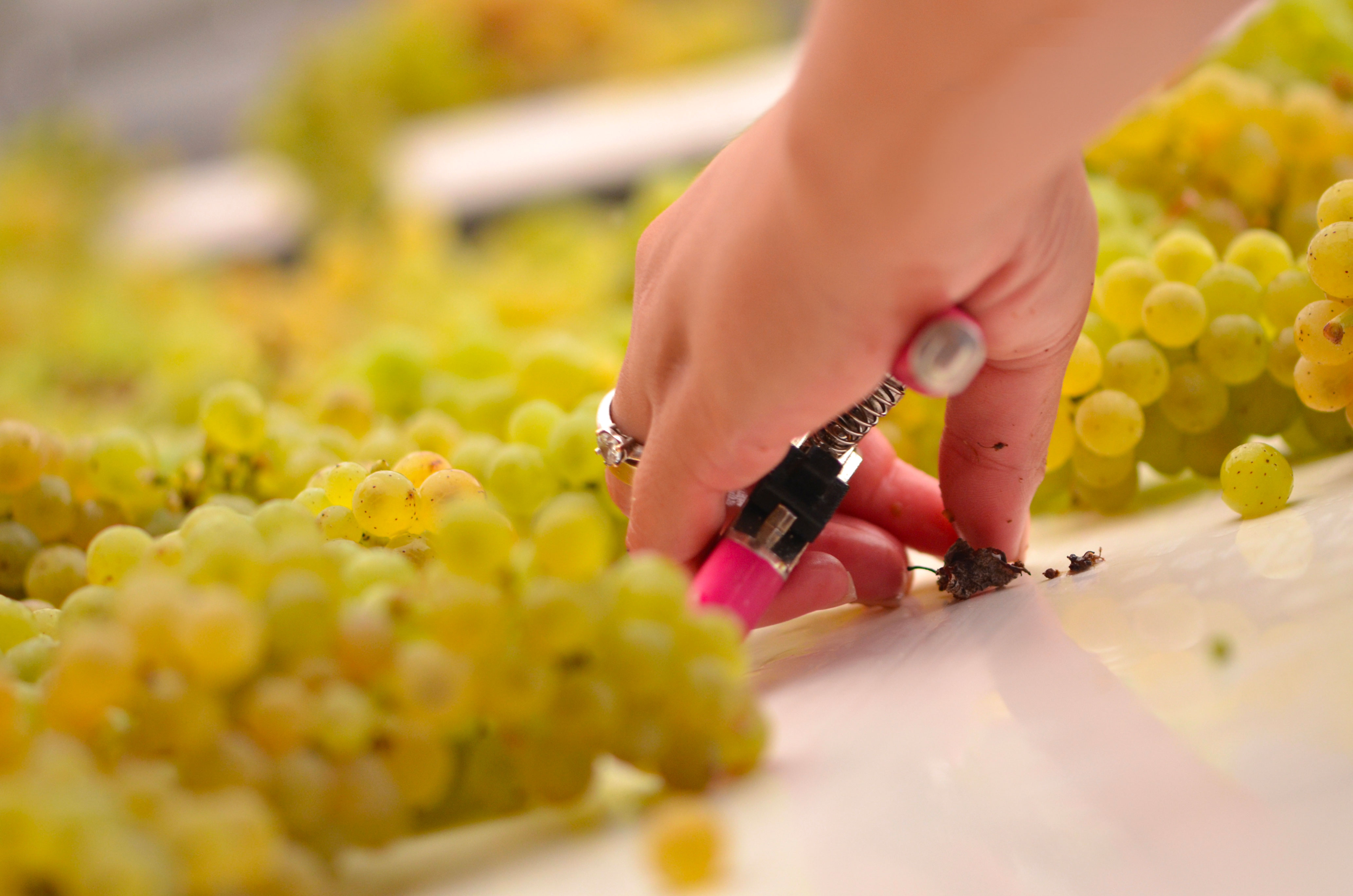 Château Couhins-Lurton : sorting of sauvignons blancs